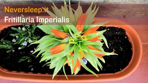 Fiore di Fritillaria imperialis, il bulbo difficile a crescere, con perle e che odora di aglio.